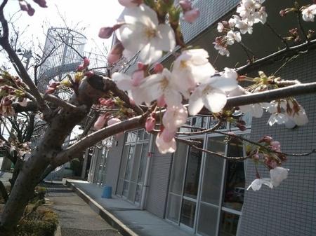 kikyounosakura.JPG