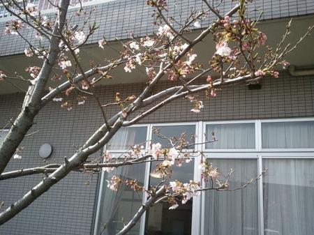 kikyounosakura2.JPG